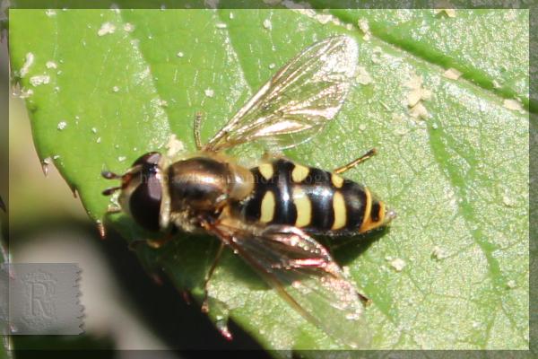 ヒラタアブ 益虫 20160412 無農薬栽培 バラ