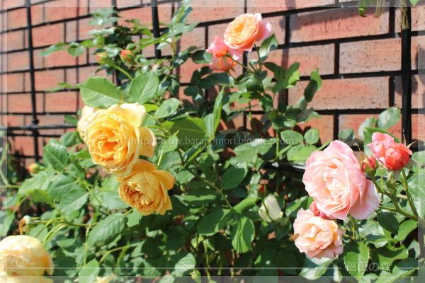 パパ花壇 東 バラ ゴールデンセレブレーション ウーメロ 201605