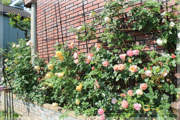 パパ花壇 東 ゴールデンセレブレーション ウーメロ アンブリッジローズ 201605