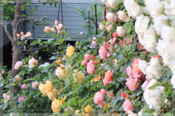 パパ花壇 東 ゴールデンセレブレーション ウーメロ ウォラトンオールドホール アイスバーグ 201605