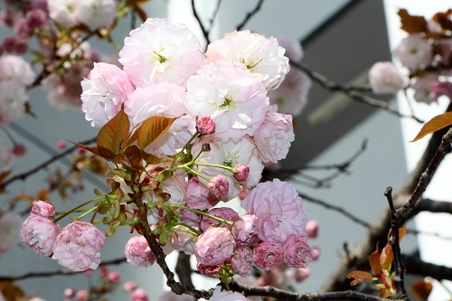 IMG_6582_NEW 八重桜 見納め