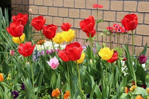 IMG_6601 my garden tulip