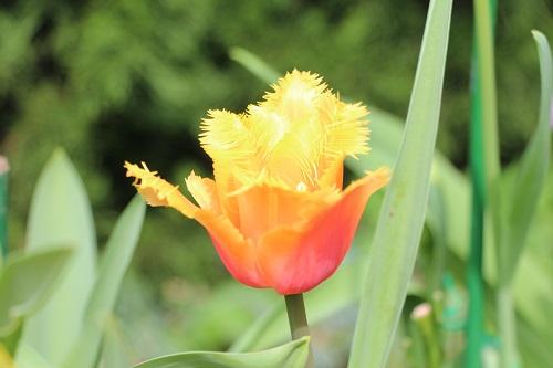 IMG_6703 tulip 3