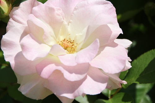 IMG_6732_NEW pink rose