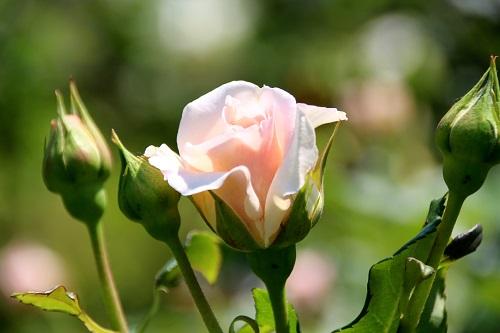 IMG_6760_NEW pink つぼみ