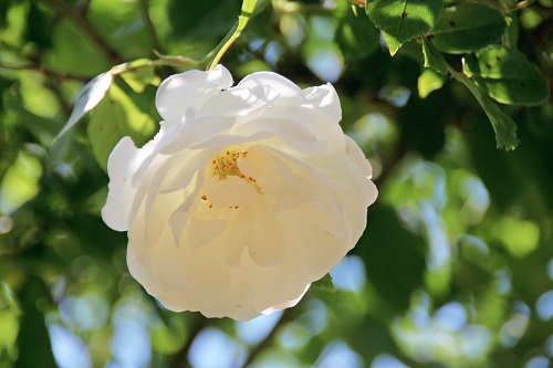 IMG_6783_NEW white rose