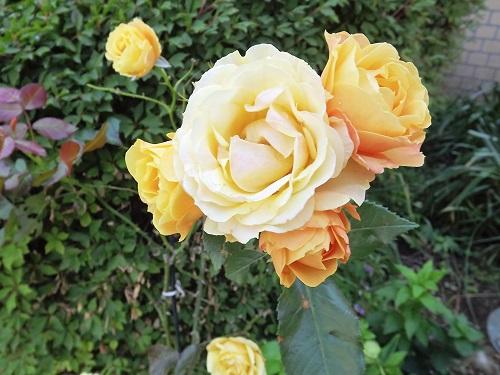 DSCF3517_NEW 我が花壇 薔薇s
