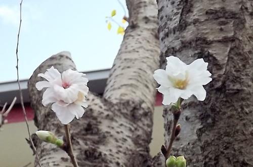 DSCF4561_NEW トリミング桜