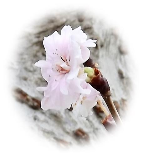 DSCF4565_NEWトリミング桜2