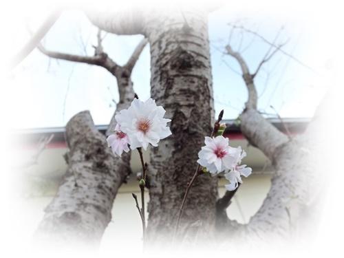 DSCF4679_NEW 十月桜118