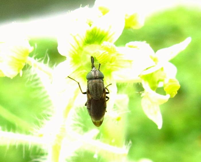 アレチウリ 昆虫 2016 9 28 近くの小さい川 花 昆虫 064