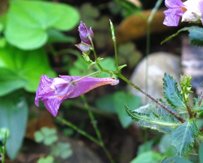 ツリフネソウ 2016 10 10 小さい花の山 6031
