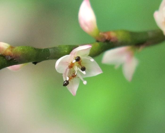 ミズヒキ 2016 10 10 小さい花の山  白花 蟻3匹 6077