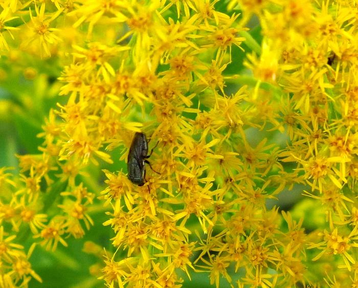 セイタカアワダチソウ 2016 10 10 近くの小さい川の川沿い 虫 ツマグロキンバエ 6012