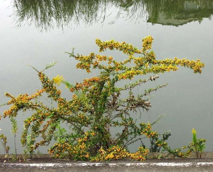 ピラカンサス(タチバナモドキ) 2016 10 30 近くの小さい川 6670