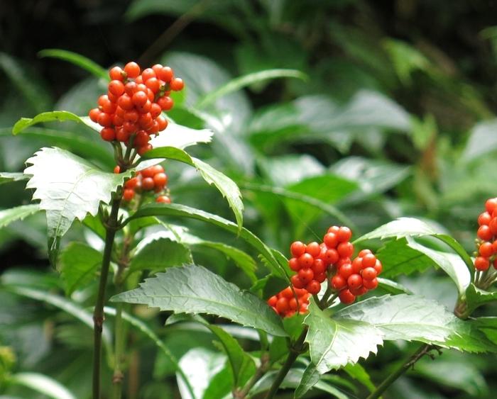 センリョウ 2016 10 30 小さい花の山 6652