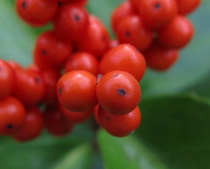 センリョウ 2016 11 6 果実 小さい花の山 6832