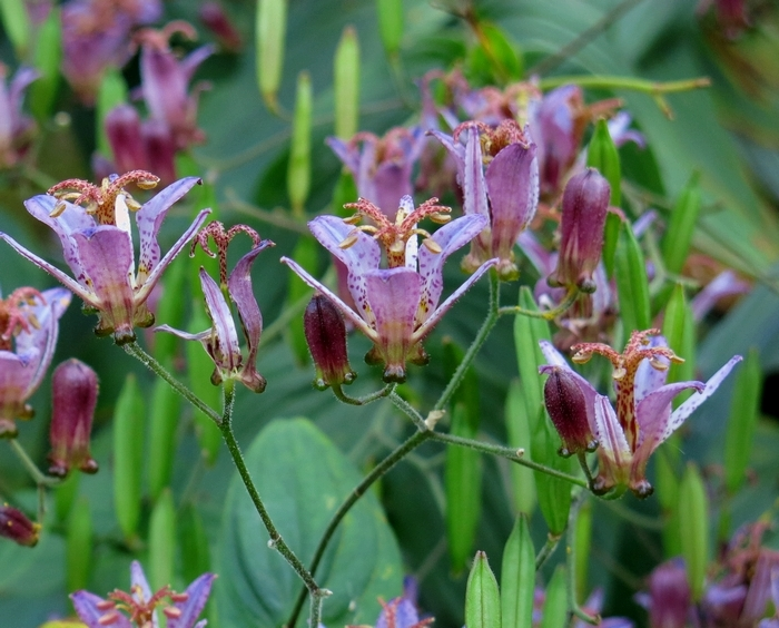 タイワンホトトギス 2016 11 6 花序  小さい花の山 6854
