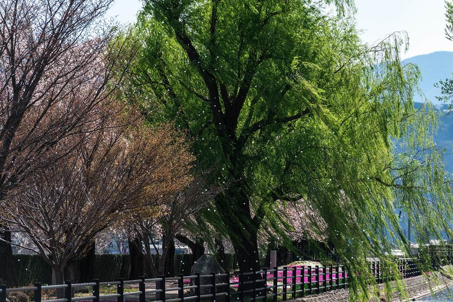 2016.04.15拾ケ堰の桜3