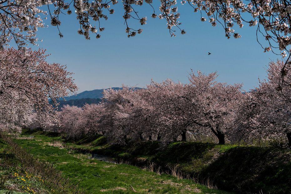 2016.04.15黒沢川の桜並木13