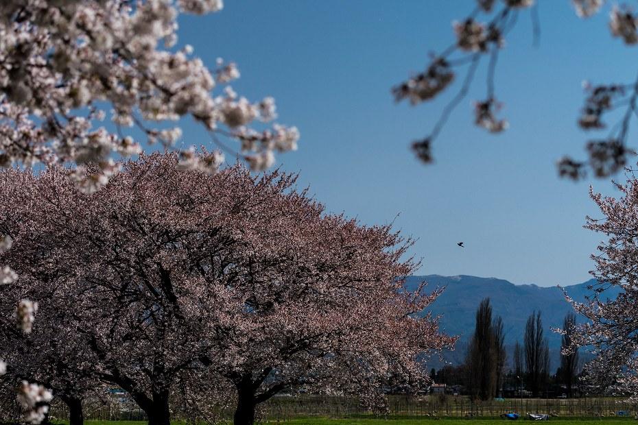 2016.04.15黒沢川の桜並木12
