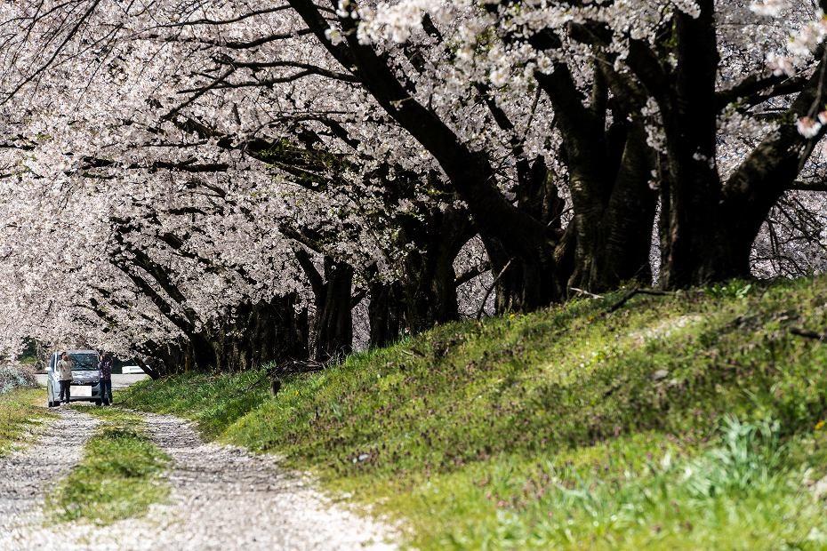 2016.04.15黒沢川の桜並木11