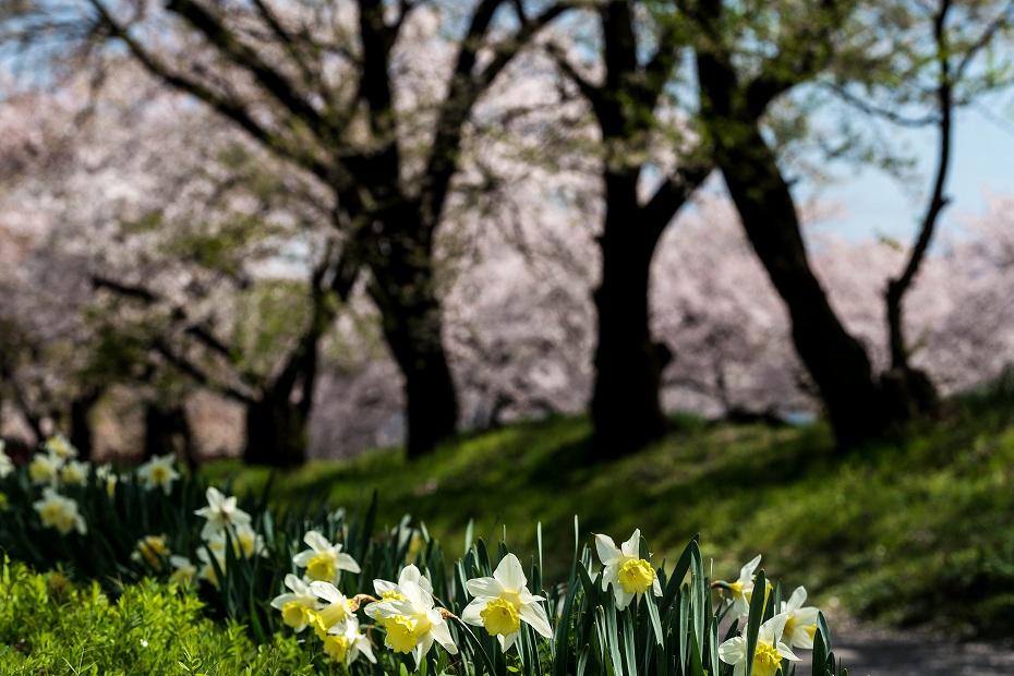 2016.04.15黒沢川の桜並木10