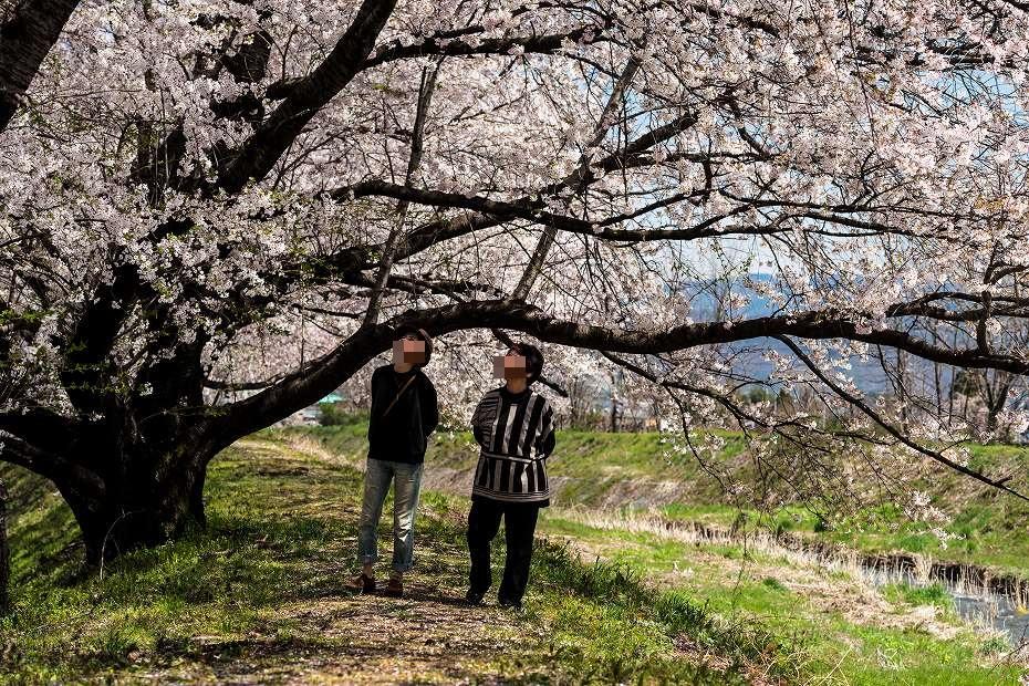 2016.04.15黒沢川の桜並木9