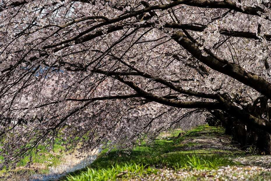 2016.04.15黒沢川の桜並木8