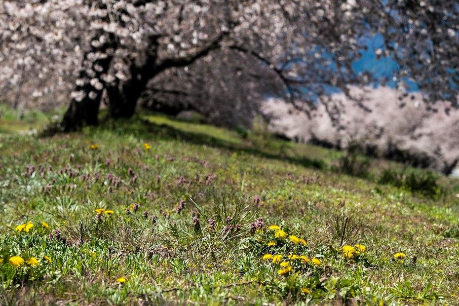 2016.04.15黒沢川の桜並木7