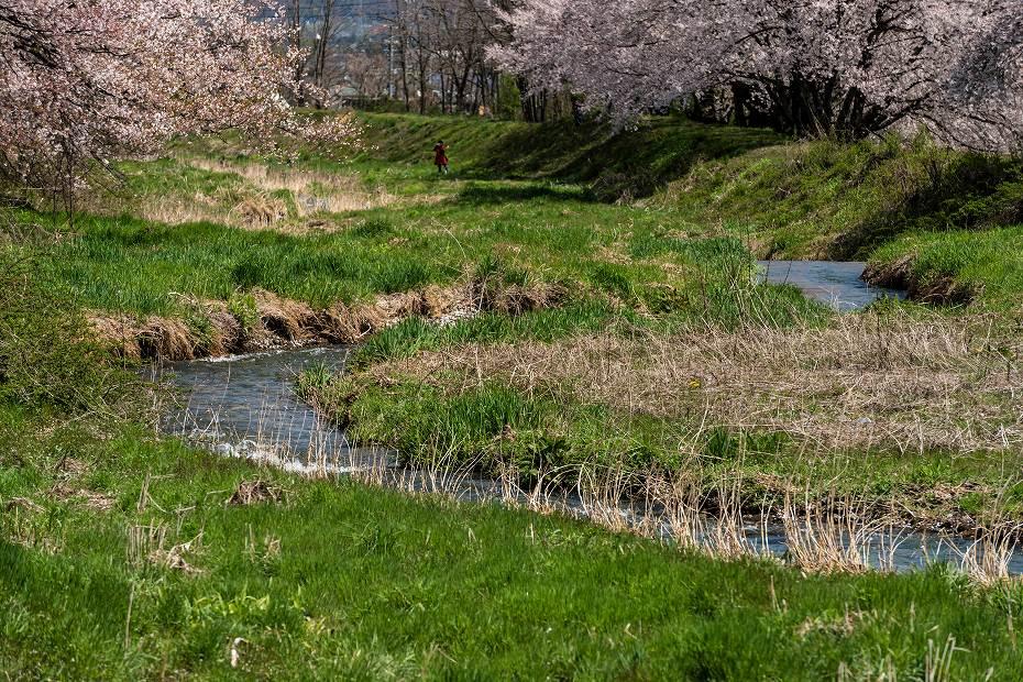 2016.04.15黒沢川の桜並木6