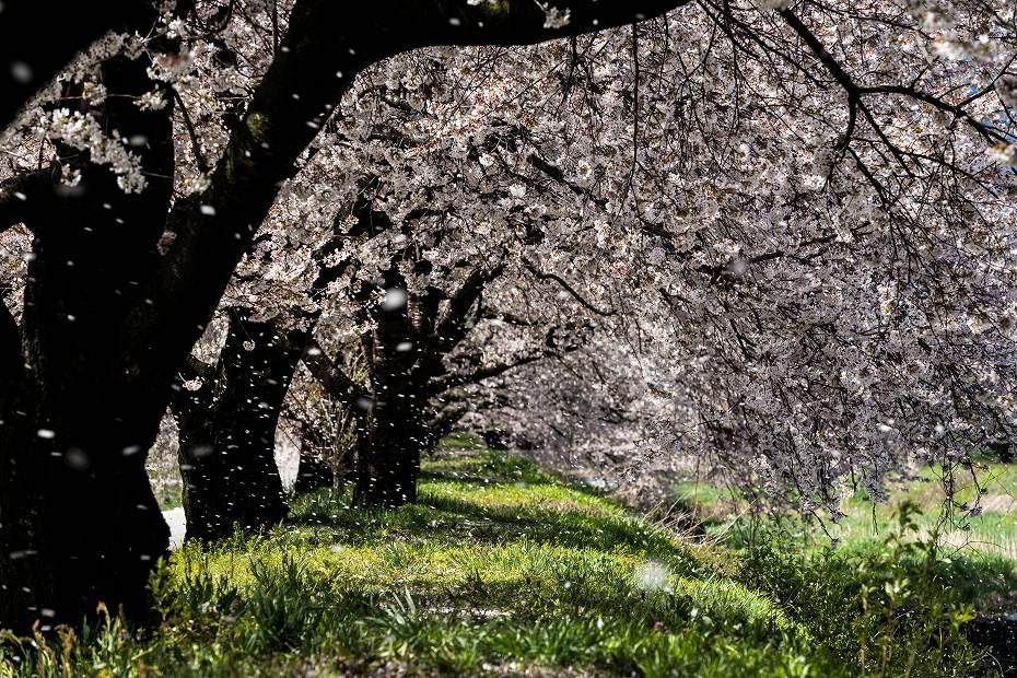 2016.04.15黒沢川の桜並木3