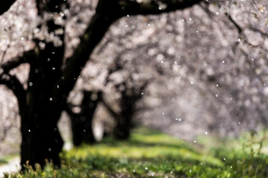 2016.04.15黒沢川の桜並木4