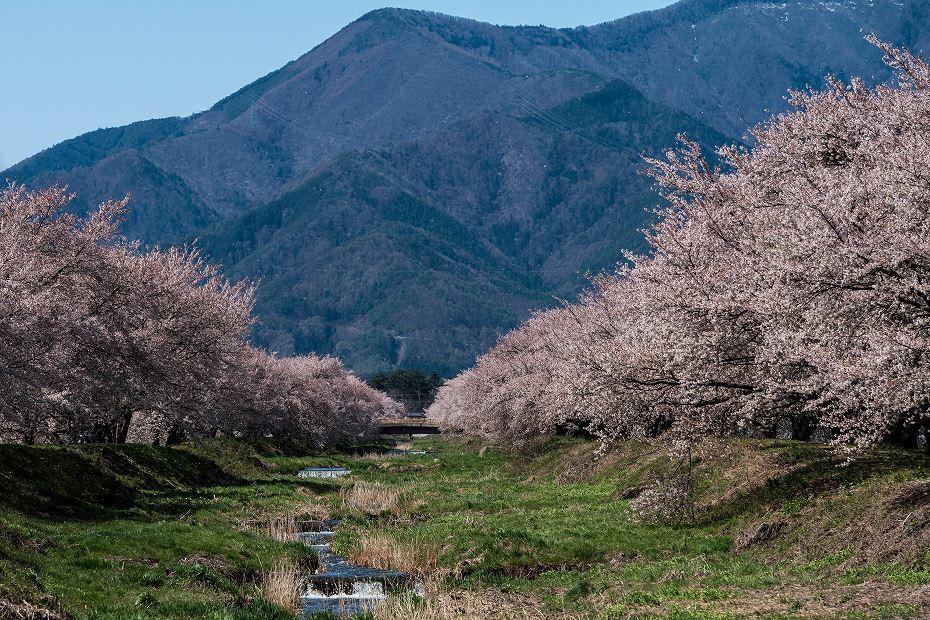 2016.04.15黒沢川の桜並木1