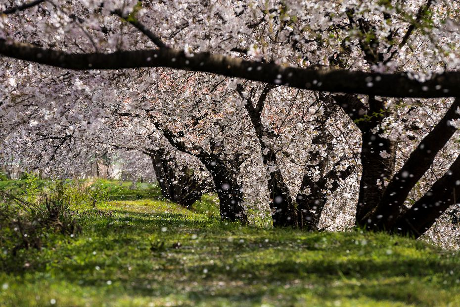 2016.04.15黒沢川の桜並木2