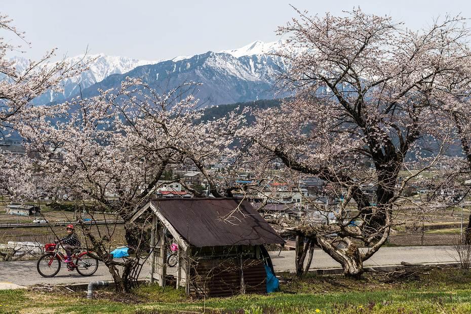 2016.04.16大町観光道路の桜並木7