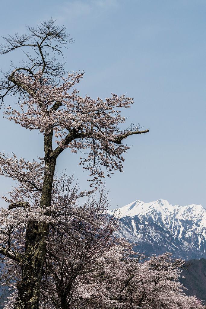 2016.04.16大町観光道路の桜並木4