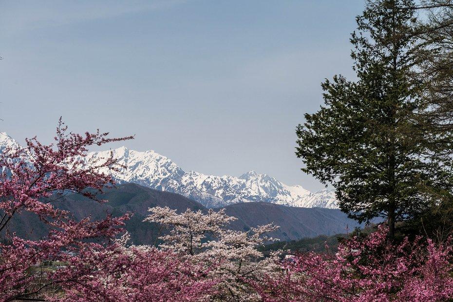 2016.04.16大町観光道路の桜並木1