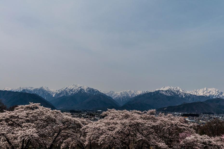 2016.04.16大町公園付近からの桜3