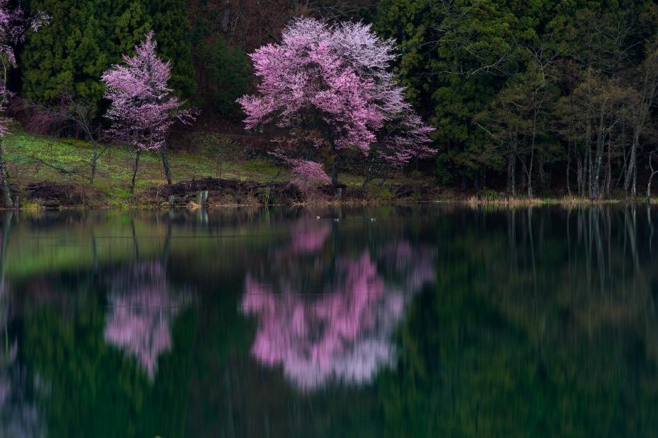 2016.04.22中網湖の桜4