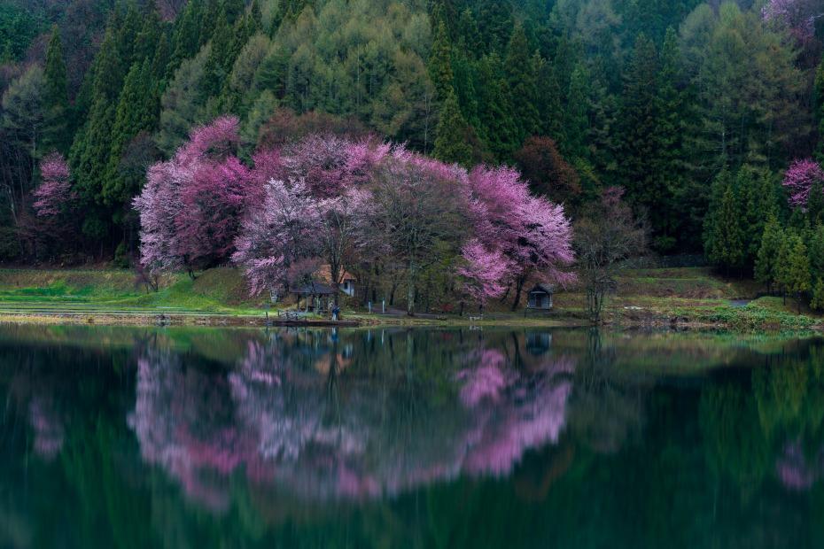 2016.04.22中網湖の桜3
