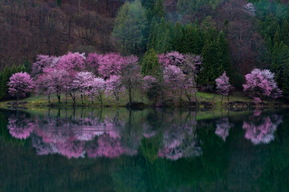 2016.04.22中網湖の桜2