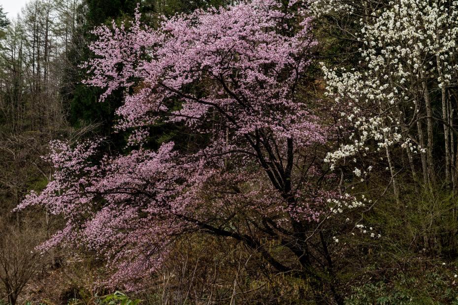 2016.04.22青木湖山中の桜とコブシ