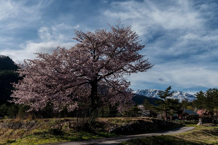 2016.04.22HAKUBA47の桜2