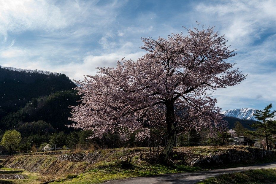 2016.04.22HAKUBA47の桜3