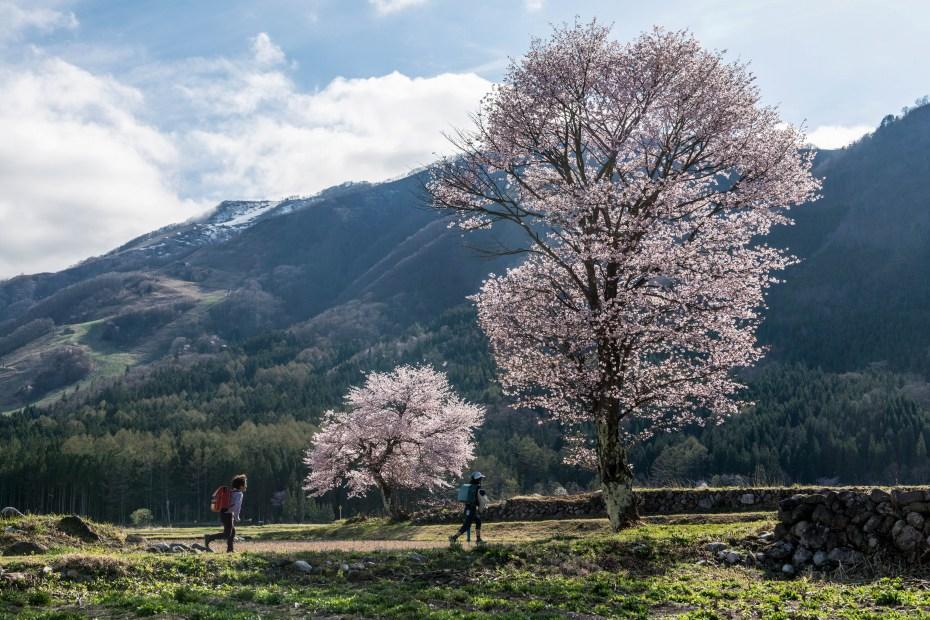 2016.04.22HAKUBA47の桜1