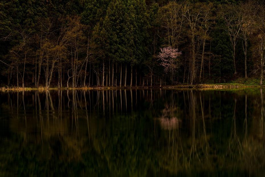 2016.04.23中綱湖のオオヤマザクラ7