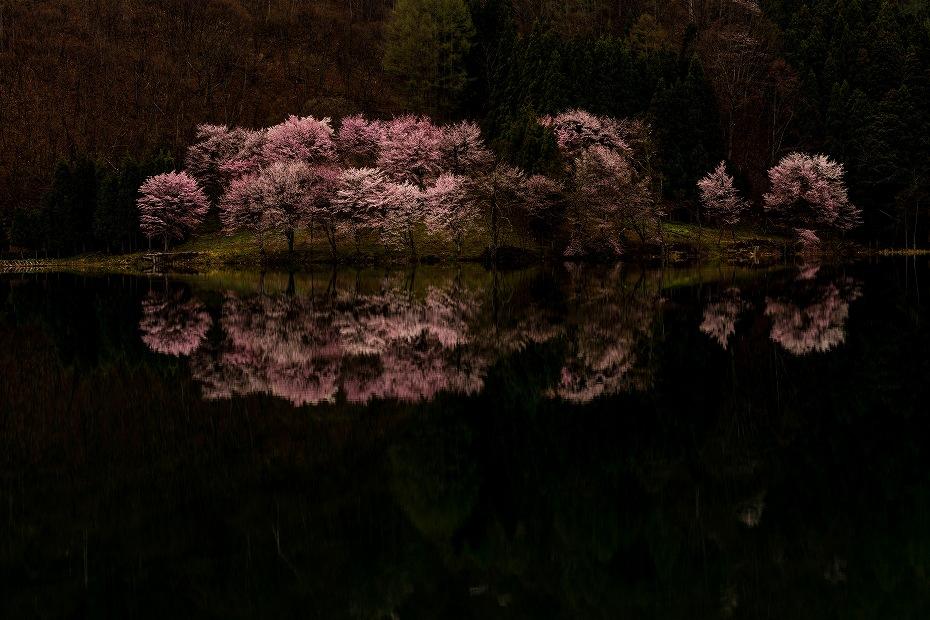 2016.04.23中綱湖のオオヤマザクラ6