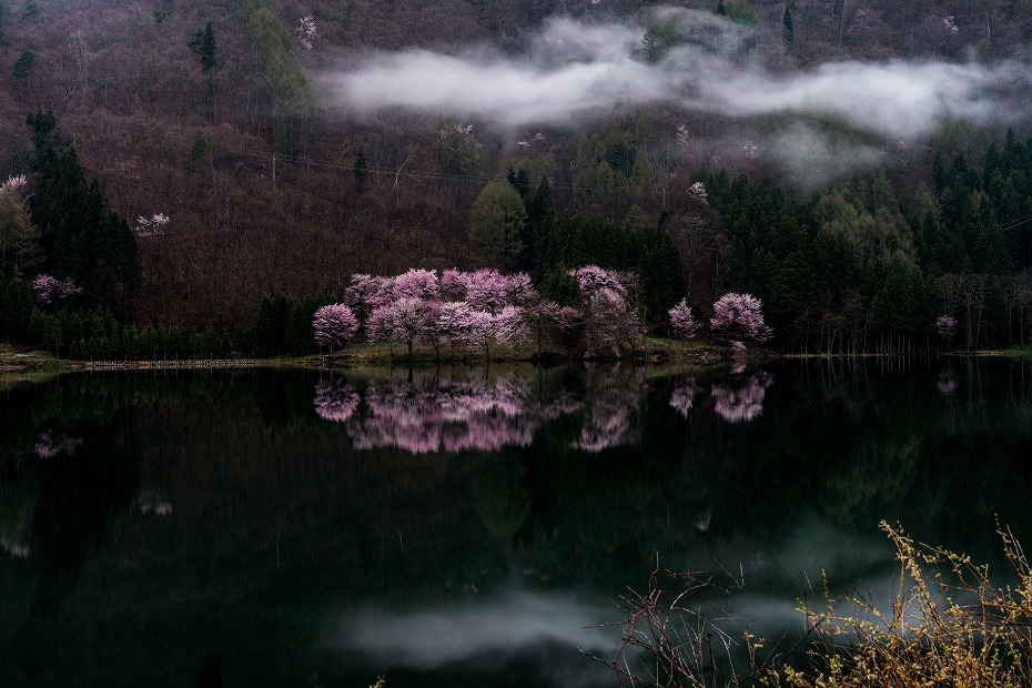 2016.04.23中綱湖のオオヤマザクラ5