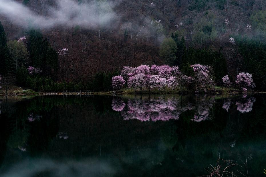 2016.04.23中綱湖のオオヤマザクラ3